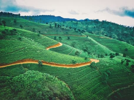 Plantație de ceai