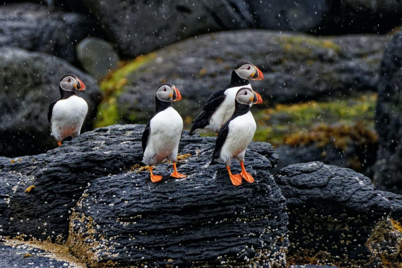 Pinguini în ploaie pe coasta islandeză
