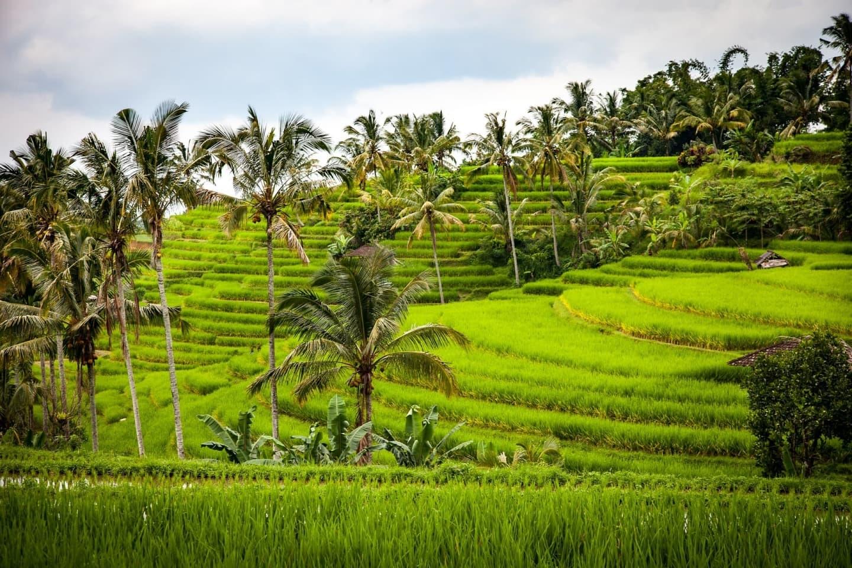 Orezărie terasată în Bali